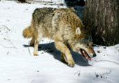волки2